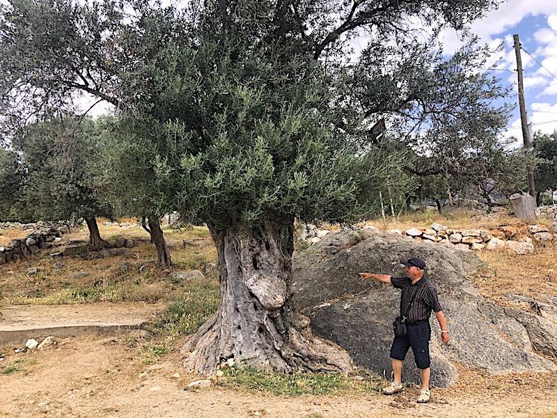 Bafa Gölü - Zeytin Ağaçları