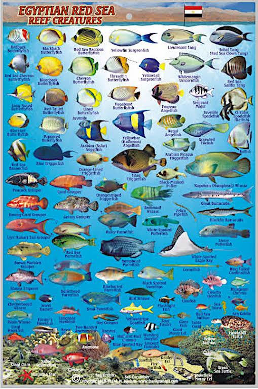 Kızıldeniz Balıkları
