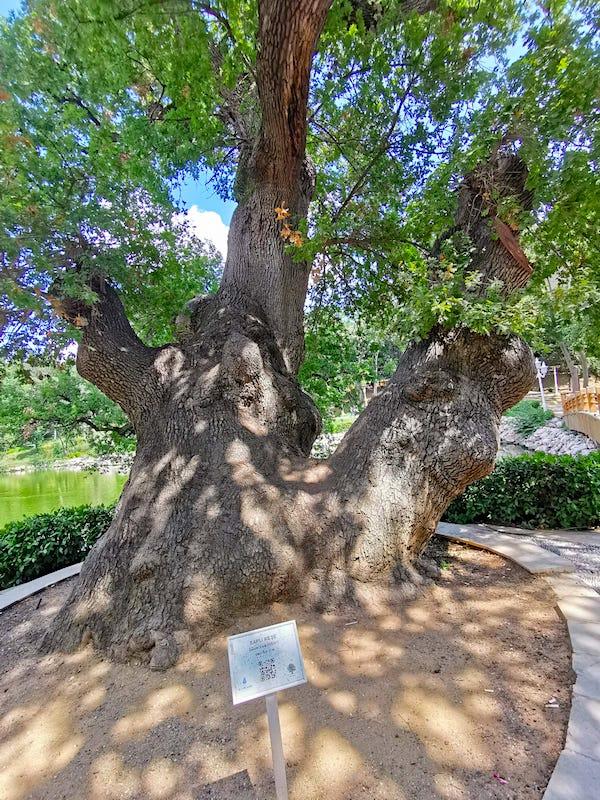 Yıldız Korusu Anıt Ağaçlarından Biri